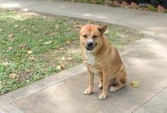 Le gros chien vagué thaïlandais se repose au sol Images libres de droits