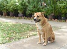 Le gros chien vagué thaïlandais se repose au sol Photographie stock libre de droits