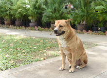 Le gros chien vagué thaïlandais se repose au sol Images stock