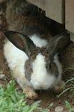 Le gros lapin Photo libre de droits