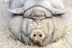 Le gros porc engraissé de la race vietnamienne est visiblement invisible Le concept des porcs à la maison d'élevage Image stock