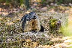 Le groundhog européen a appelé la marmotte d'Alps au-dessus du fond naturel Image libre de droits