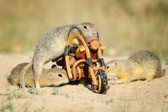 Le groupe d'écureuils moulus européens et le vélo en bois jouent Image stock