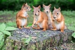 Le groupe d'écureuils rouges mangent des graines de tournesol sur le tronçon image libre de droits