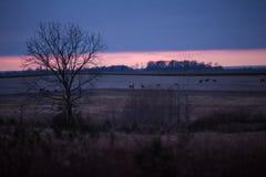 Le groupe de cerfs communs et fait le pâturage dans les domaines américains au crépuscule dans les WI image libre de droits