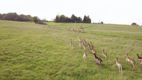 Le groupe de cerfs communs fonctionne par espièglerie pour rattraper avec le reste du troupeau Levé aérien clips vidéos