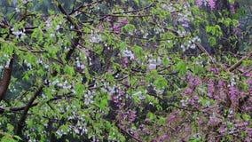 Le groupe de cerise rose et les fleurs de cerisier blanches sous la pluie fulminent banque de vidéos