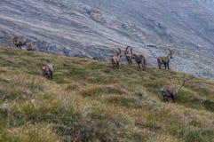Le groupe de chèvres fonctionnant dans les Alpes Image stock