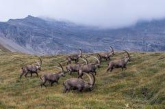 Le groupe de chèvres fonctionnant dans les Alpes Photo libre de droits