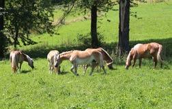 Le groupe de chevaux dans l'état sauvage frôlent dans le pré dans le MOU photographie stock libre de droits