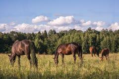 Le groupe de chevaux de châtaigne frôlent dans un pré Image libre de droits