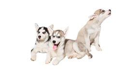 Le groupe de chiots multiplient les chiens de traîneau d'isolement sur le fond blanc Photographie stock