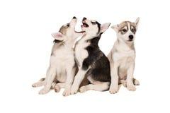Le groupe de chiots multiplient les chiens de traîneau d'isolement sur le fond blanc Image stock