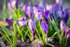 Le groupe de floraison sativus de crocus pourpre de crocus Photographie stock