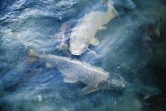 Le groupe de grandes carpes flotte dans l'eau bleue Image libre de droits