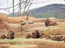 Le groupe de grands moutons de montagne sauvages de klaxon restent sur la pierre brune avec s Images stock