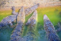 Le groupe de jeunes crocodiles se dorent dans l'étang concret Croc Photo libre de droits