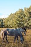 Le groupe de la châtaigne et les chevaux blancs dans un cru frôlent dans un pré Photographie stock libre de droits
