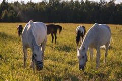 Le groupe de la châtaigne et les chevaux blancs frôlent dans un pré Photographie stock