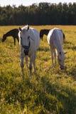 Le groupe de la châtaigne et les chevaux blancs frôlent dans un pré Images libres de droits
