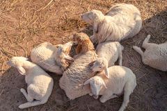 Le groupe de la famille de moutons et l'ami fixent au sol Photographie stock libre de droits