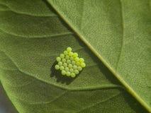Le groupe de la mite ou du papillon verte d'insecte eggs sous la feuille Photo libre de droits