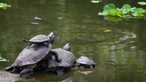 Le groupe de la tortue rouge-à oreilles de glisseur en rivière les prennent un bain de soleil pour régler la température clips vidéos