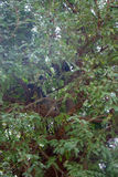 Le groupe de langur de singes a obtenu l'arbre branchu Images stock