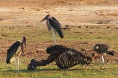 Le groupe de marabouts nourrit sur le squelette d'un buffle images libres de droits