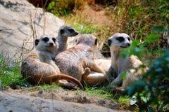 Le groupe de Meerkats avec la tête a tenu la haute Photos stock