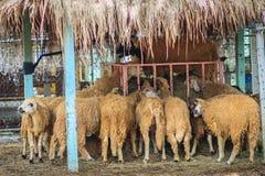 Le groupe de moutons bruns chez les moutons cultivent image libre de droits