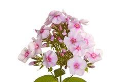 Le groupe de phlox blanc et rose fleurit sur le blanc Image stock