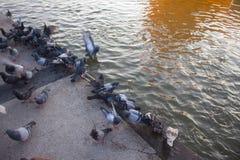 Le groupe de pigeons est arrivé sur un trottoir pour la nourriture photo stock
