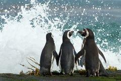 Le groupe de pingouins de Magellanic recueillent ensemble sur la côte rocheuse Photos libres de droits