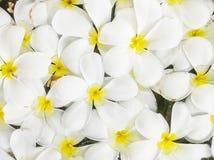 Le groupe de plan rapproché du flotteur tombé blanc de fleur sur l'eau en bassin pour la décoration dans le jardin a donné au fon Image stock