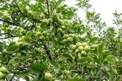 Le groupe de pommes vertes organiques unharvested du pommier Photographie stock libre de droits