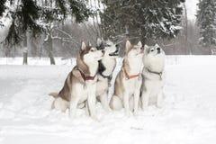 Le groupe de quatre chiens dans la neige dérive beaux fille et type amicaux ensemble enroué âge 3 ans Image libre de droits