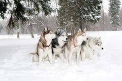 Le groupe de quatre chiens dans la neige dérive enroué Âge 3 ans Image stock