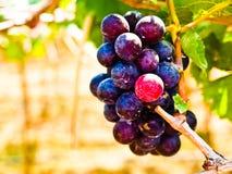Le groupe de raisins rouges avec le vert part dans la cour de vin en Nakorn Ra Photos stock