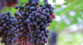 Le groupe de raisins rouges avec le vert laisse accrocher dans le vignoble photographie stock libre de droits