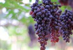 Le groupe de raisins rouges avec le vert laisse accrocher dans le vignoble photographie stock