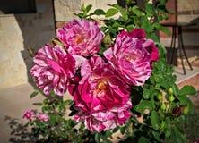 Le groupe de roses roses de floraison, se ferment  Image libre de droits
