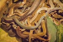 Le groupe de serpents d'eau (Homalopsidae) et leur nom commun sont W Photos libres de droits