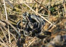 Le groupe de serpents d'eau noirs s'est enlacé dans un dangereux et méchant merci photo libre de droits