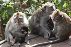 Le groupe de singes de mère et le bébé monkey dans des mains de mère, Bali Photographie stock