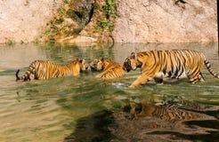 Le groupe de tigres jouent le combat dans l'eau Photo stock