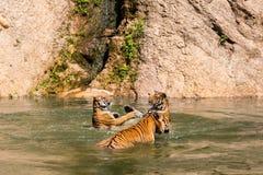 Le groupe de tigres jouent le combat dans l'eau Image stock