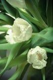 Le groupe de tulipes de ressort Profondeur de zone Les FO sélectives Images stock