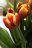 Le groupe de tulipes de ressort Profondeur de zone Les FO sélectives Image stock