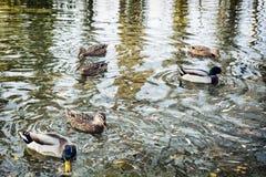 Le groupe du canard sauvage se penche dans l'étang, les vagues et la réflexion Image libre de droits